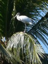 In one area we saw many large wood storks percehd high in the palm trees.