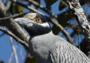 This is a yellow-crowned night heron.  They are very pretty birds  -  much more color than black night herons.