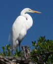 A great egret poses for the camera along the river bank.
