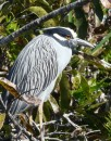 Another yellow-crowned night heron.