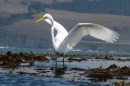 The egret would just open his wings and the breeze would lift him to the next kelp patch.