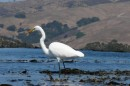 Great egret wading on the kelp.