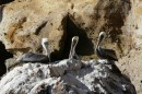 What do you know  -  there are pelicans in Pelican Bay!