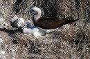 This is a male brown footed boobie keeping an eye on his chick.  Most boobie families we saw had only one chick.