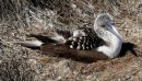 This pretty lady is a blue footed boobie sitting on her nest.