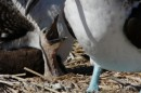 This is a newly hatch blue footed boobie chick looking for some lunch.  Both parents were on hand but we did not see a feeding.