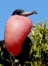 Yup, this is one randy frigate bird!  When a female flies overhead he throws his head back and snaps his beak like a a woodpecker.