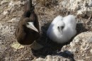 A mother and child brown footed boobie.  They are pretty passive but when I tried to pass her some grass she bit my finger!