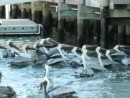 And Even More Pelicans