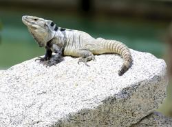 Cape spiny-tailed iguana