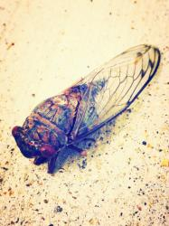 This unfortunate cicada washed up near us but it was so beautiful I had to take its picture.