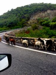 Goats on the windy mountain road were being tended to by a dog. No humans were present!