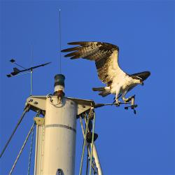 And no album from here is complete without an osprey picture, or two!
