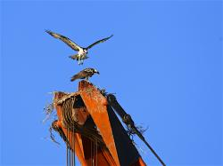 This osprey on the crane has been trying to attract a mate all summer. Thought he had one here. She circled around a few days in a row but have not seen her since. Poor guy. He is trying.