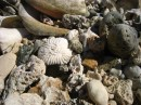 Close up. coral and shells.. No Name Cay. Abaco, Bahamas 2-22-12