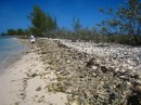 Conch shell graveyard. This is the most conch shells I