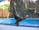 IMG_0515: seals do acrobatics at the Mazatlan aquarium