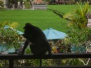 More Monkeys vsiting our unit in Ubud