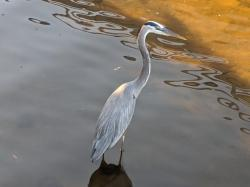 Our pet heron, Harry
