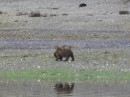 Grizzlies on the shoreline
