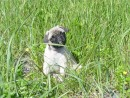 Pugsley-In-the-Grass-Min-01: Pugsley enjoying the picnic at Mink Island!
