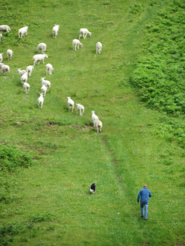 Sheepdog competition, Gairloch