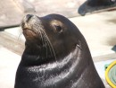 another sea lion: Aonther Sea Lion