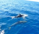 Dolphins in the Argolic Bay