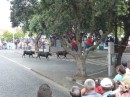 bull fight in the streets