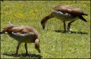 Egyptian geese, Capetown, Sth Africa