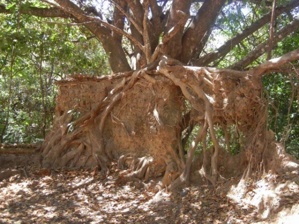 A tree growing around the remains of an adobe brick wall.