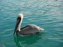 Pelicans are cool birds.  Glad they banned DDT and the birds made a comeback