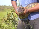 The head of the anaconda Dave helped track down and capture