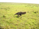 a local inhabitant, the anteater, found whilst riding out (never realised they could be this big!)