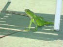 Friendly iguanas by the pool