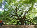 Angel Oak, Charleston.  Estimated to be between 300 to 400 years old.