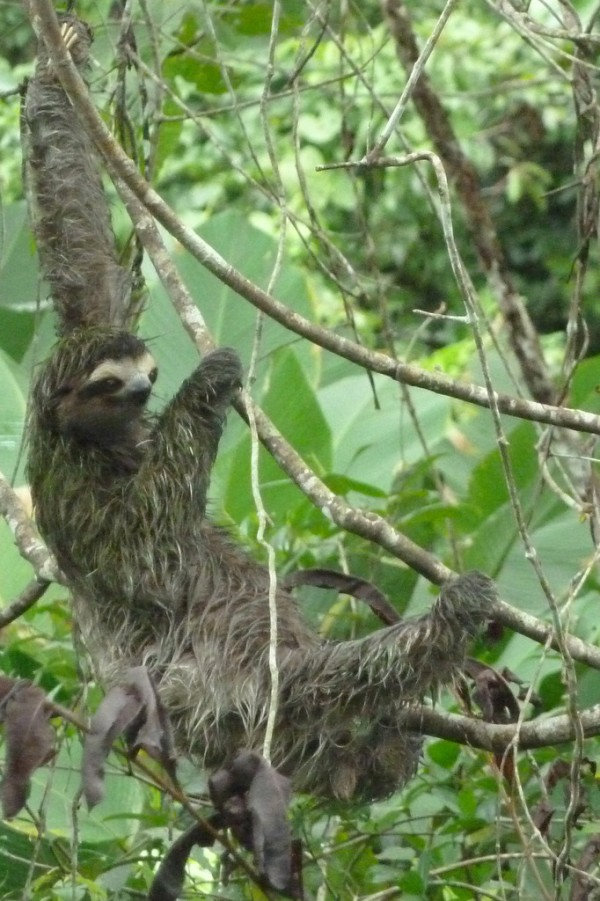 The sloth is living in a tree near the bathrooms at the marina