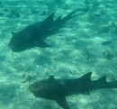 Relaxing sharks near Staniel Cay
