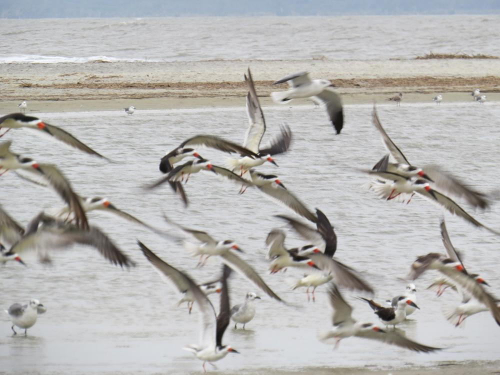 Birds flying in the wind at St. Simons Island, GA