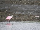 This is our Faux Flamingo, otherwise know as a roseate spoonbill.  Darn it.  We are still searching for those elusive flamingoes which we couldn