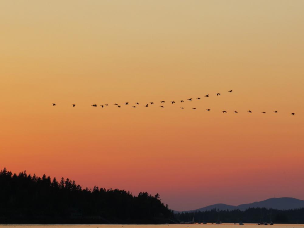 A flock of 35 Canada geese heading south for the winter. Maine, USA