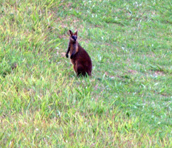 Red-Necked Wallaby on our property in Australia