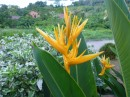 I think this is a type of bird of paradise flower.