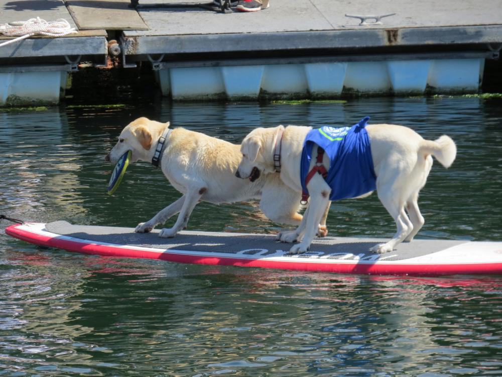 The winners of the 2016 World Championship Boatyard Dog Trials in Rockland, Maine, USA