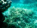 A really nice patch of healthy elkhorn coral