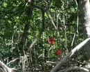 Scarlet Ibis in the mangroves at the far east end of the Golfo de Cariaco