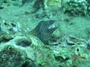 Moray eel showing some mouth.