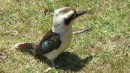 My favorite--Kookaburra, lots in the wild