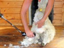 After the sheep are sorted, its time to start shearing. It actually is quite an art, which was carefully explained and then demonstrated.