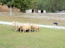 The other star attractions - the sheep -  here being rounded up by the incredible sheep dogs.